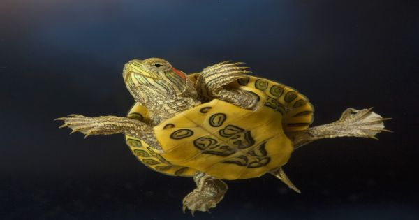 Young_Red-Eared_Slider_Wallpaper__yvt2
